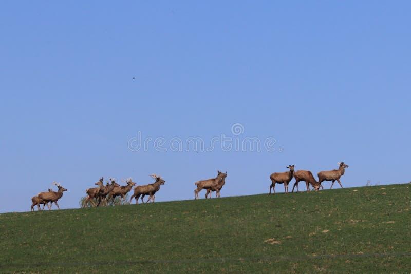 Een kudde van herten die in de lente op een groene weide weiden Wilde dieren in gevangenschap Behoud van Aard en Vermindering van royalty-vrije stock afbeelding