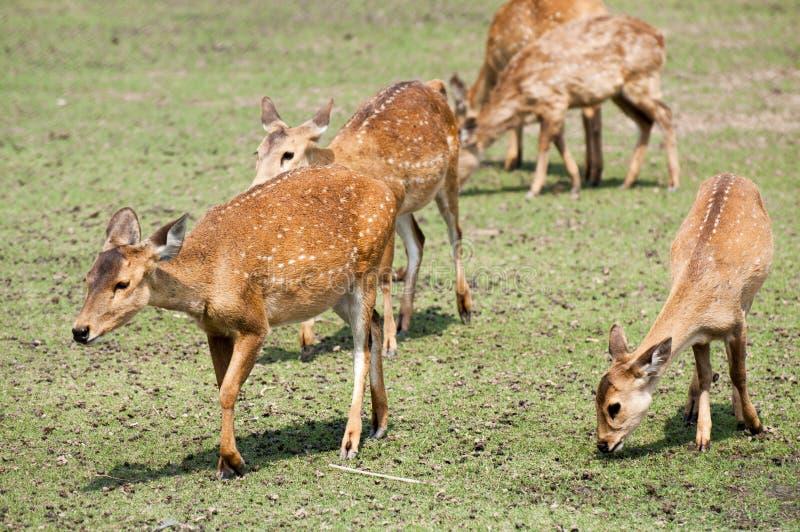 Een kudde van herten in het park stock foto
