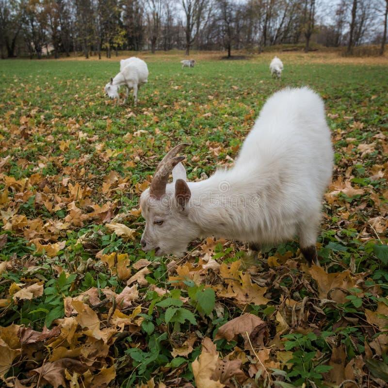Een kudde van het ras van geitenzaanen het weiden in de weide met y wordt gestippeld dat royalty-vrije stock fotografie
