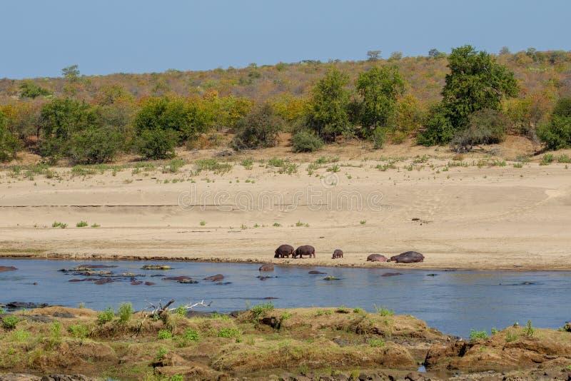 Een kudde van Hippos op thabank van een Rivier Kruger royalty-vrije stock afbeeldingen