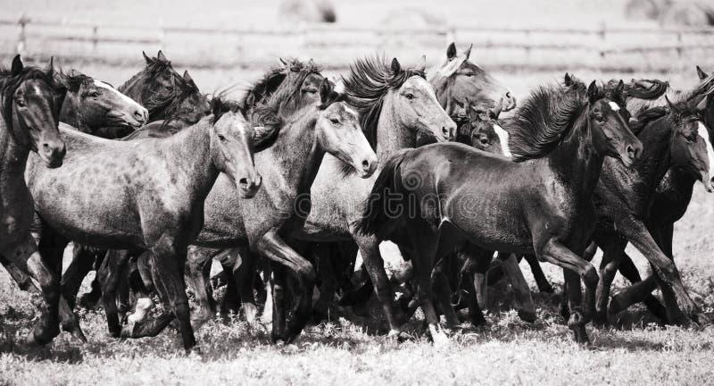 Een kudde van jonge paarden royalty-vrije stock fotografie