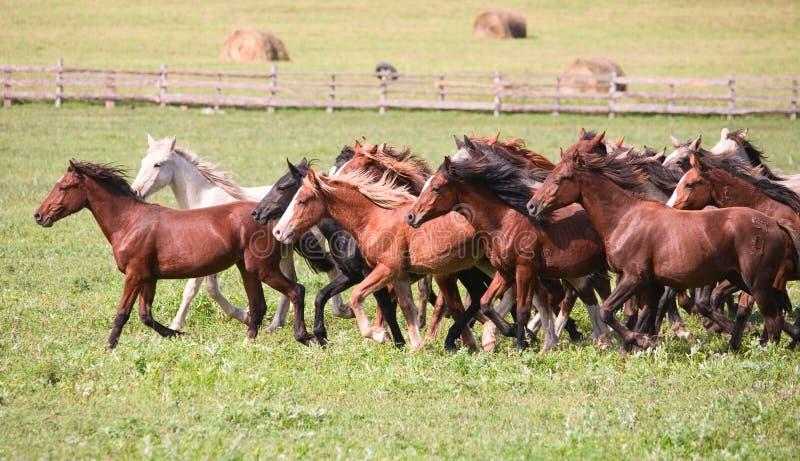 Een kudde van jonge paarden stock foto