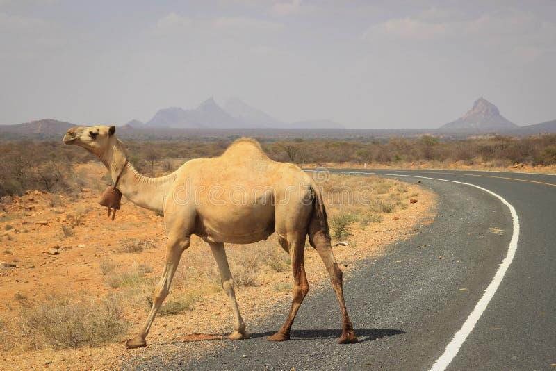 Een kudde van kamelen koelt in de rivier op een hete de zomerdag Kenia, Ethiopië stock afbeeldingen