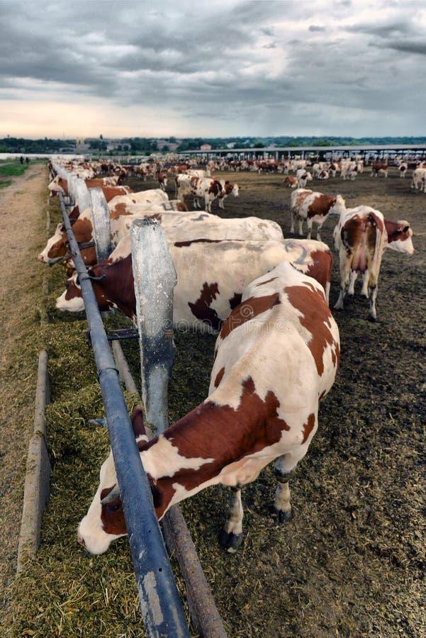 Een kudde van koeien die hooi in een schuur op een melkveehouderij gebruiken stock foto