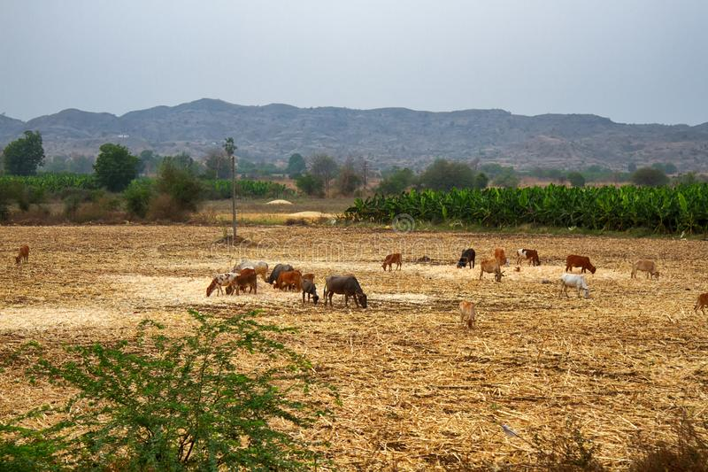 Een kudde van koeien die op het gebied weiden royalty-vrije stock afbeeldingen