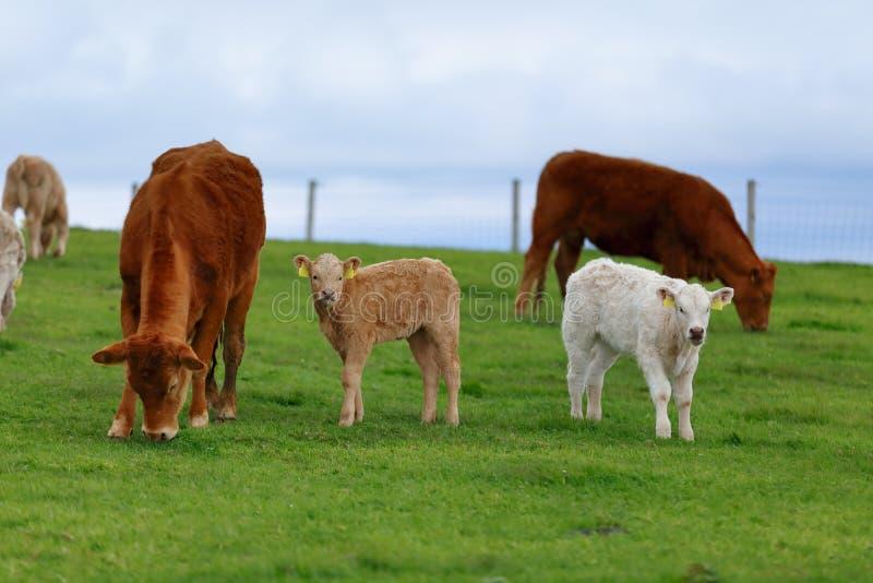 Een kudde van koeien op de weidesteeg in het Westen van Ierland royalty-vrije stock foto