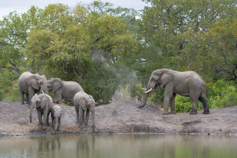 Een kudde van olifanten bij het afnemen waterhole royalty-vrije stock foto