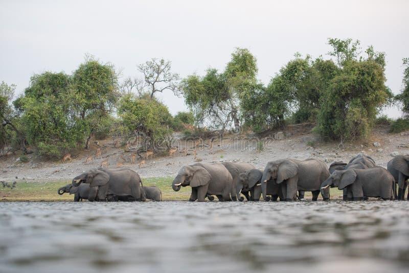 Een kudde van olifanten het zwemmen royalty-vrije stock foto's