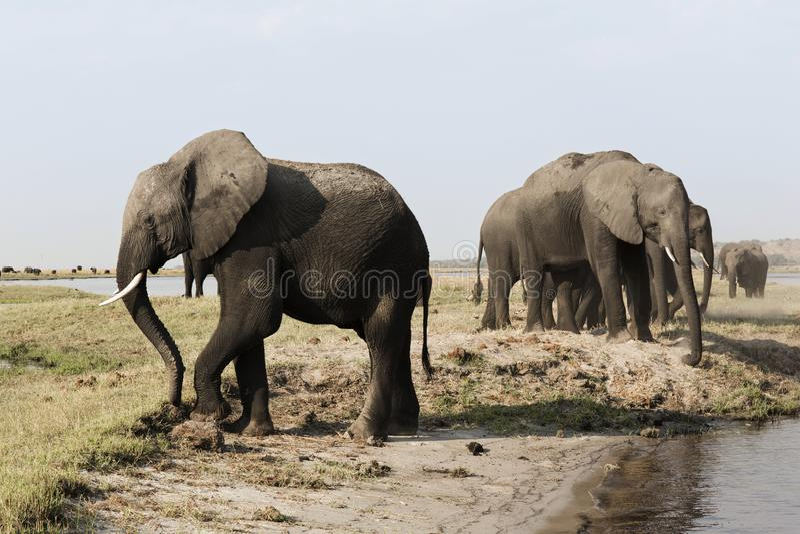 Een kudde van olifanten nadert een waterhole in de nationale pa van Etosha royalty-vrije stock afbeeldingen