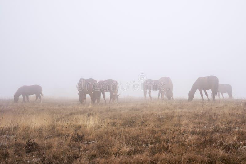 Een kudde van paarden die in een mistige de herfstochtend weiden stock afbeeldingen
