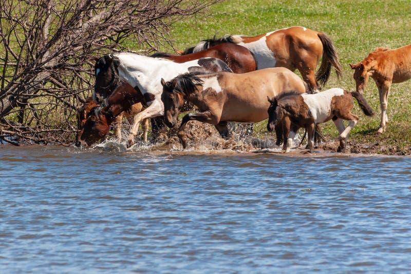 Een kudde van paarden met veulennen drinkt water van de vijver en stoeit royalty-vrije stock afbeelding