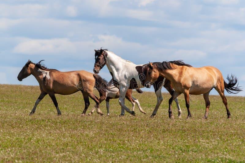 Een kudde van paarden met veulennen drinkt water van een vijver op een hete, de zomerdag stock foto's