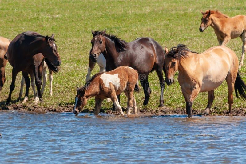 Een kudde van paarden met veulennen drinkt water van een vijver op een hete, de zomerdag royalty-vrije stock foto