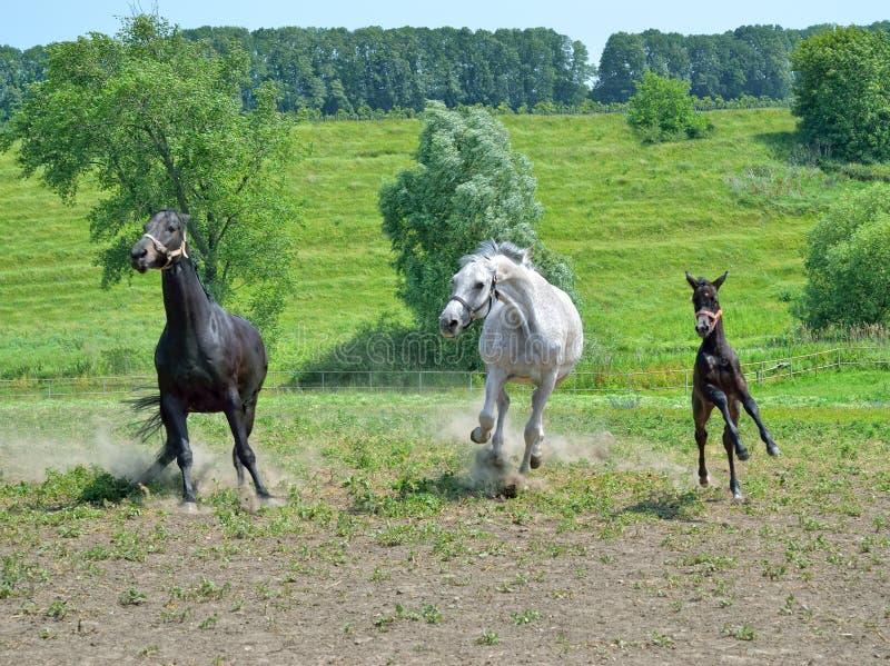 Een kudde van paarden stelt het galopperen over de weide in werking stock fotografie