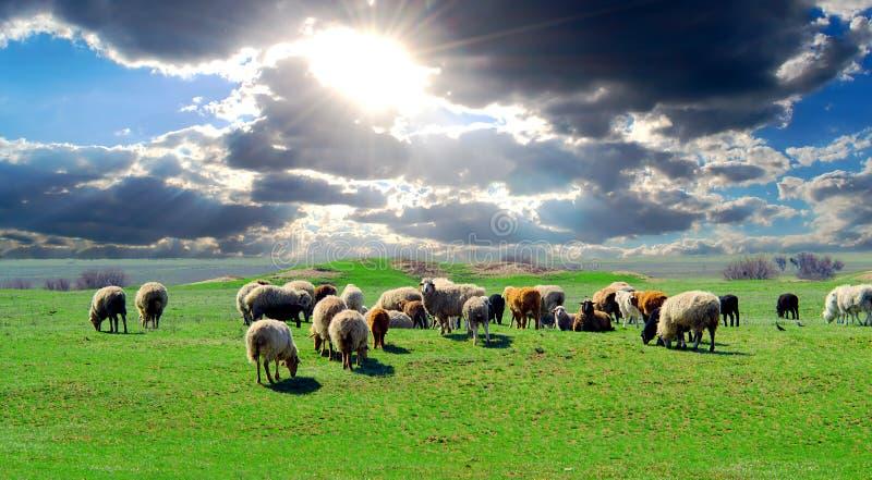 Een kudde van schapen die op een gebied met weelderig groen gras weiden stock fotografie