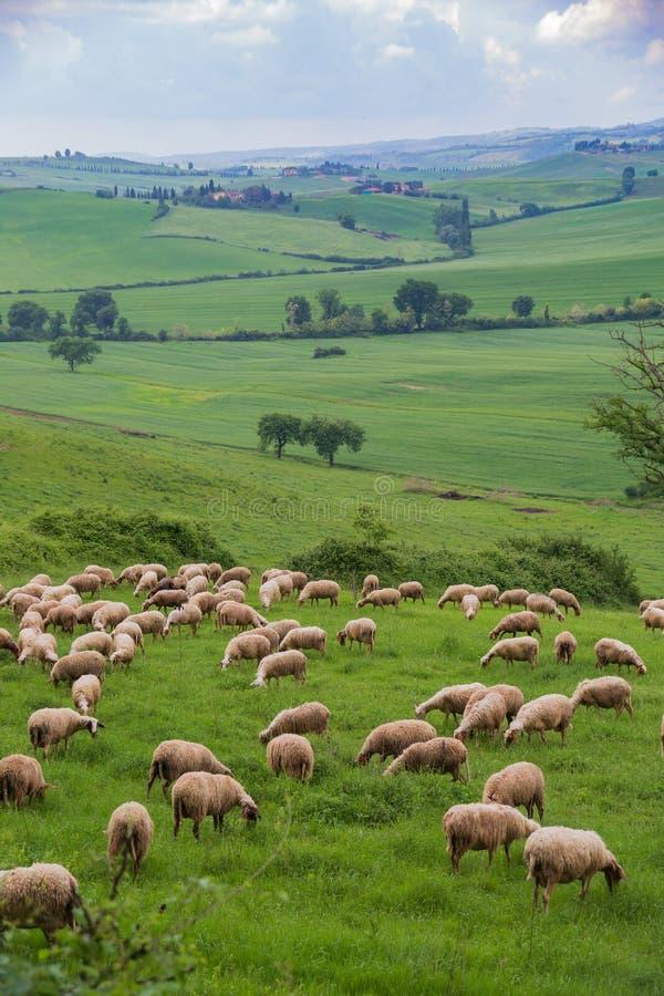 Een kudde van schapen die op een weelderige, groene Toscaanse helling weiden royalty-vrije stock afbeeldingen