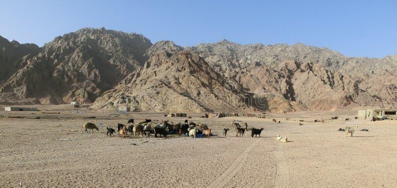 Een kudde van schapen en geiten in de woestijn van de sjeik van sharmgr, Egypte De dieren eten afval uit plastiek stock fotografie