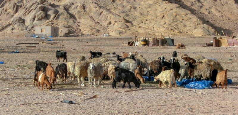 Een kudde van schapen en geiten in de woestijn van de sjeik van sharmgr, Egypte De dieren eten afval uit plastiek royalty-vrije stock fotografie