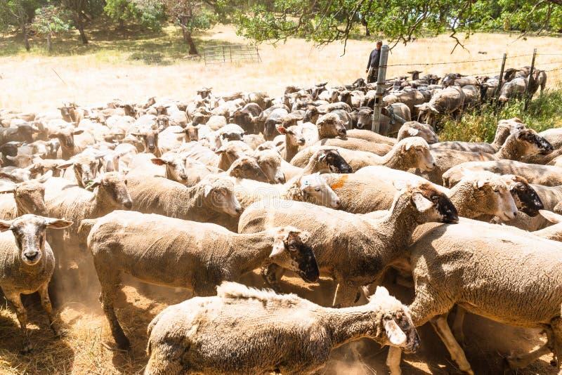 Een kudde van schapen stock fotografie