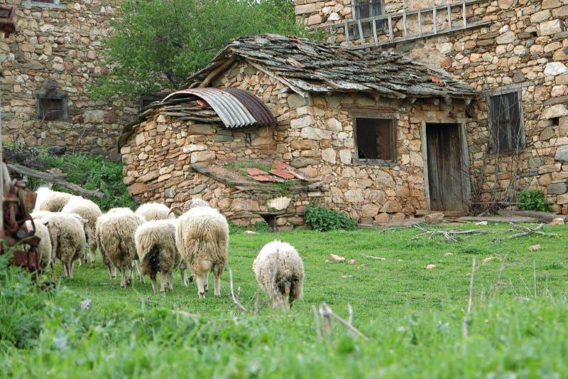 Een kudde van sheeps stock foto
