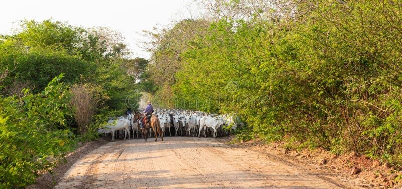 Een kudde van vee dat door een Cowboy wordt gedreven stock foto