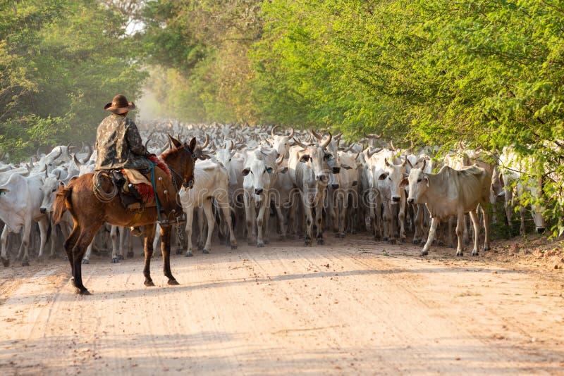 Een kudde van vee dat door een Cowboy wordt gedreven stock afbeelding