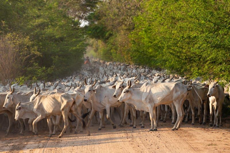 Een kudde van vee dat door een Cowboy wordt gedreven stock fotografie