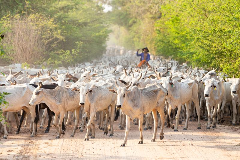 Een kudde van vee dat door een Cowboy wordt gedreven stock foto's