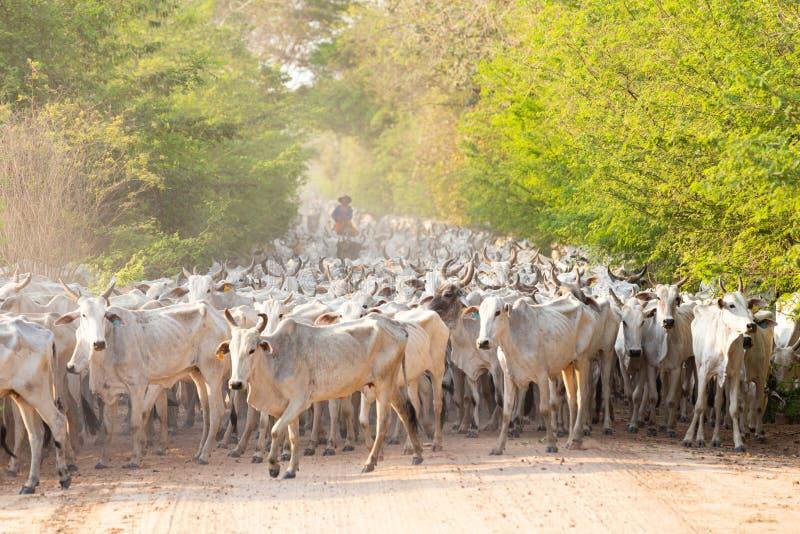 Een kudde van vee dat door een Cowboy wordt gedreven royalty-vrije stock foto