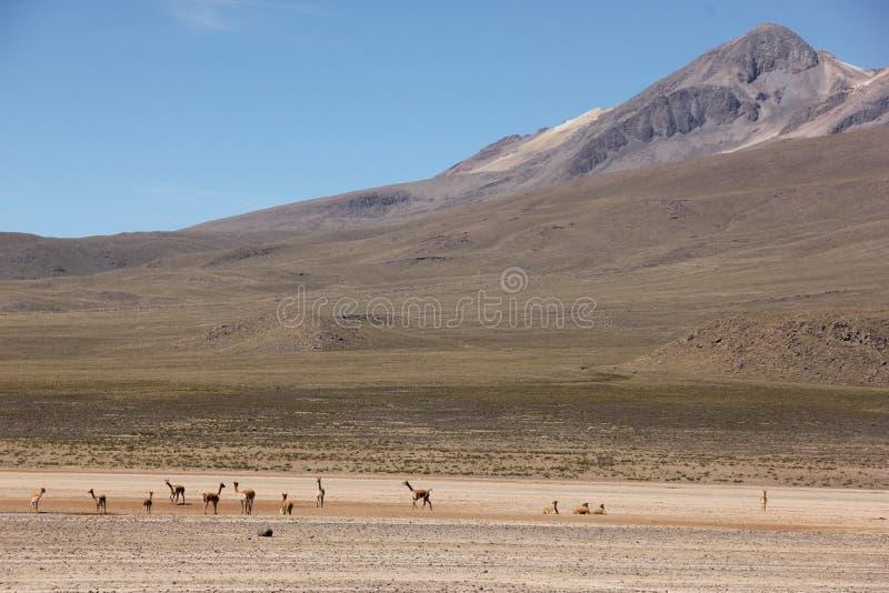 Een kudde van Vicuna op Altiplano royalty-vrije stock afbeelding