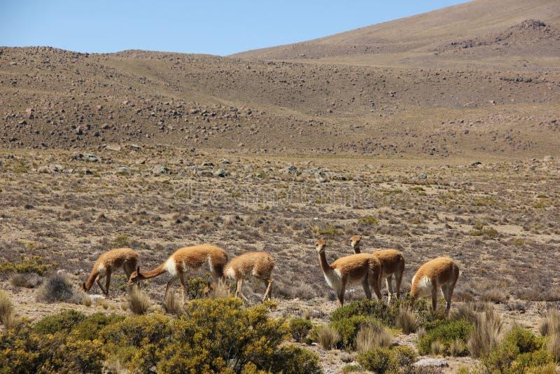 Een kudde van Vicuna op Altiplano royalty-vrije stock foto
