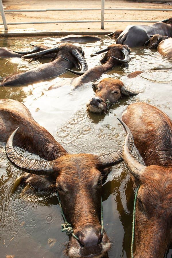 Een kudde van waterbuffel die van het baden in zoetwater in de pool, de besnoeiing en het humeur genieten Lokaal landbouwbedrijf  royalty-vrije stock foto