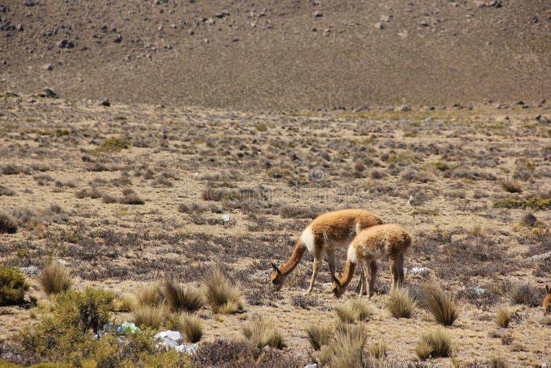 Een kudde van wilde Vicuna weidt royalty-vrije stock afbeelding