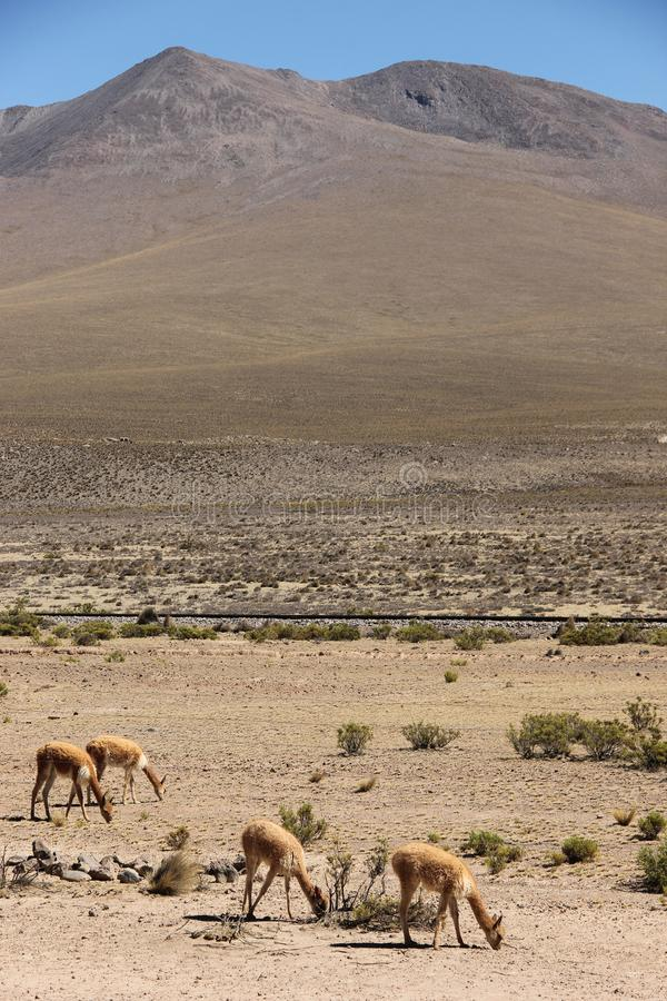 Een kudde van wilde Vicuna weidt stock fotografie