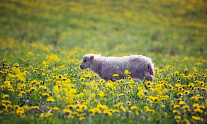 Een lam weidt op een de lenteweide met een zonnige dag royalty-vrije stock afbeelding