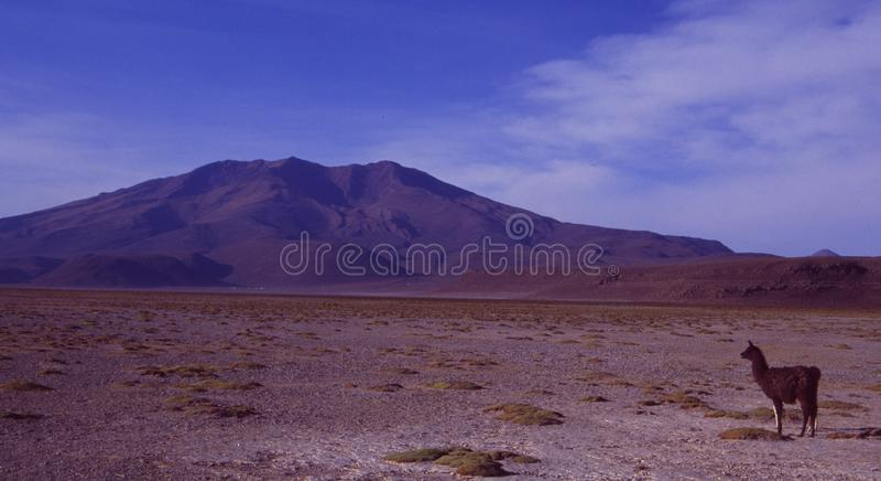 Een Lama in de zoute meerwoestijn van Bolivië stock fotografie