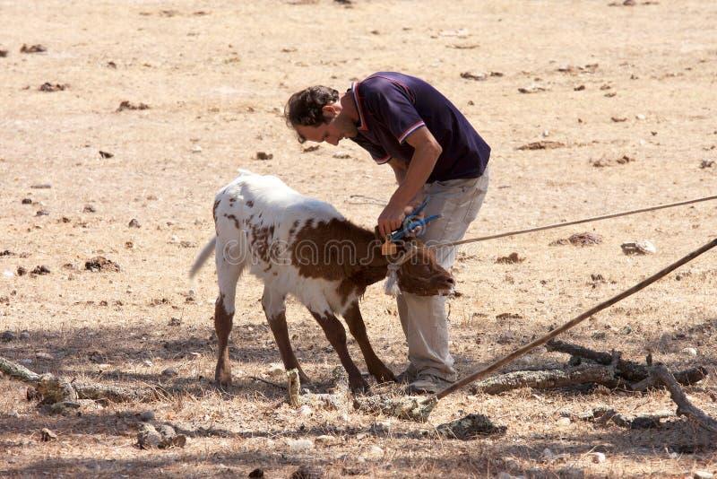 Een landbouwer bestemt een kalf, Alentejo, Portugal stock foto's