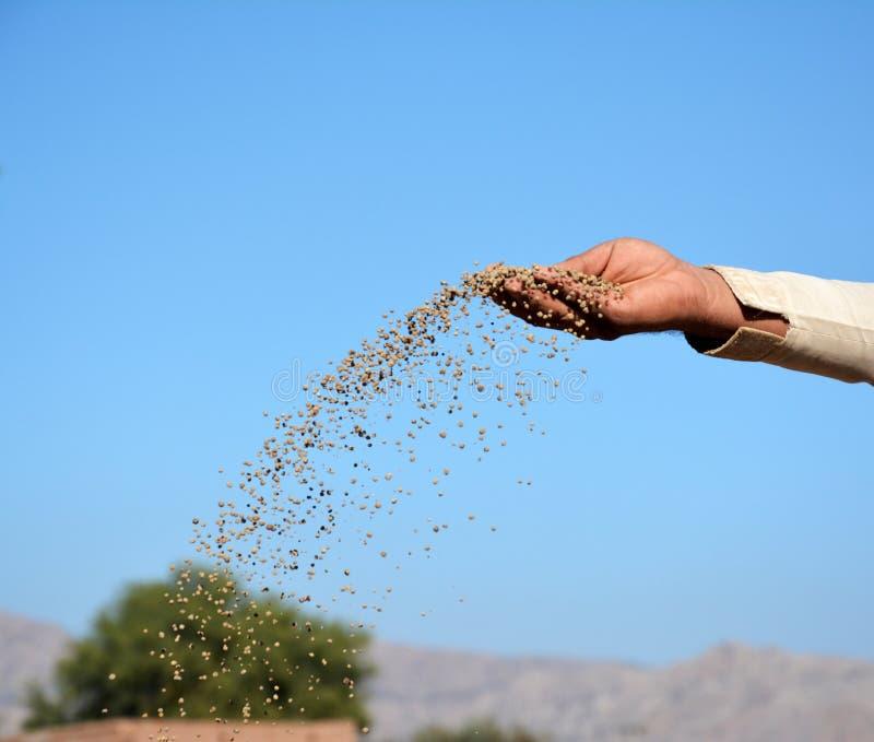 Een landbouwer die DAP-meststof op de gebieden werpen royalty-vrije stock afbeelding