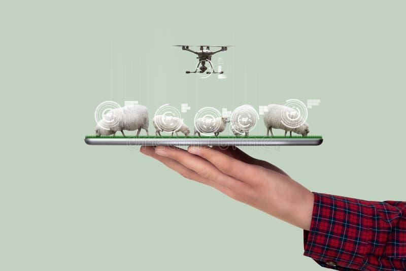 Een landbouwer houdt een tablet met sheeps royalty-vrije stock fotografie