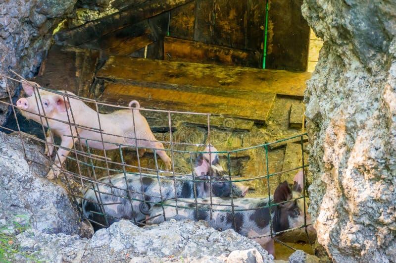 Een landbouwer kweekt kleine varkens op zijn landbouwbedrijf royalty-vrije stock afbeelding