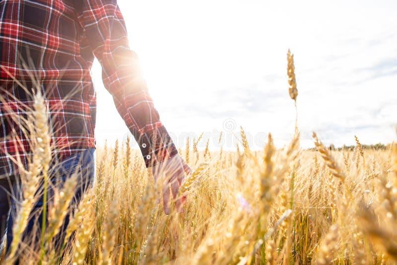 Een landbouwer loopt door Triticum van het tarwegebied, raakt aartjes met zijn hand en controleert het gewas, in de stralen van z royalty-vrije stock afbeeldingen