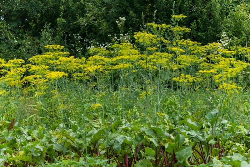 Een lange bloeiende die dille en een biet in een moestuin door lange groene bomen wordt omringd een plaats voor rust en picknick stock foto