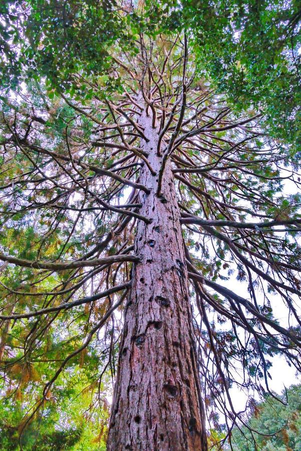 Een lange boom met zelfs beknotte boomstam en een groot aantal verdraaide takken in het park stock foto's