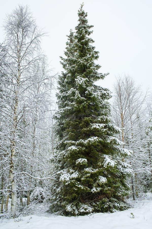 Een Lange Groene die Pijnboombomen met Sneeuw in de Winter, Kerstmis T worden behandeld stock afbeelding
