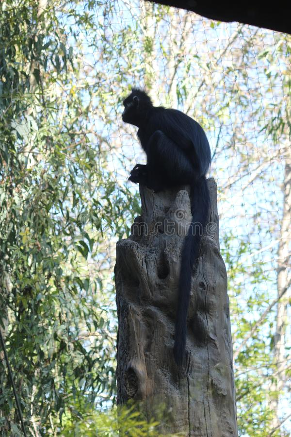 Een Langur op een boom stock foto