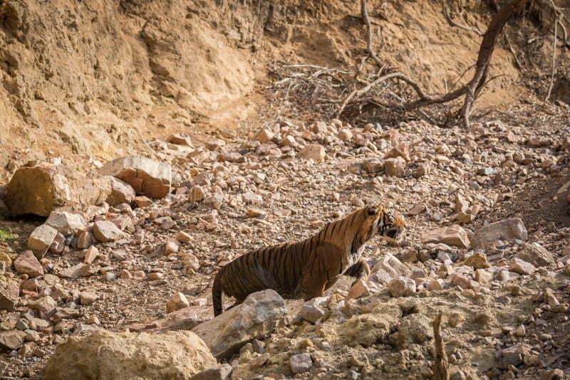 Een last door een mannelijke tijgerpanthera Tigris op een safarivoertuig royalty-vrije stock fotografie