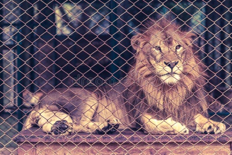 Een leeuw in de grote kooi stock fotografie