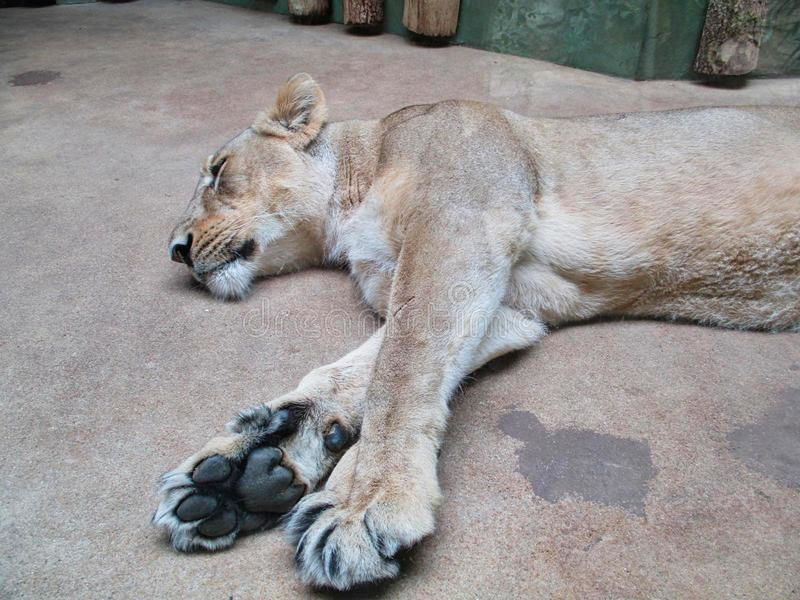 een leeuwin slaapt ter plaatse stock afbeeldingen