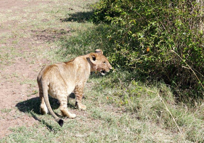 Een leeuwwelp in Masai Mara National Park stock afbeelding