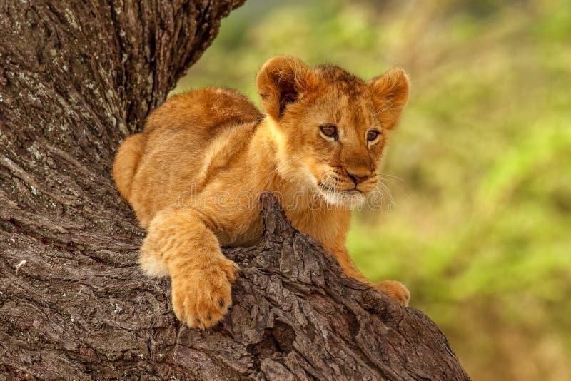 Een Leeuwwelp & een x28; Panthera leo& x29; neemt een rust op de boom in de aardhabitat stock foto